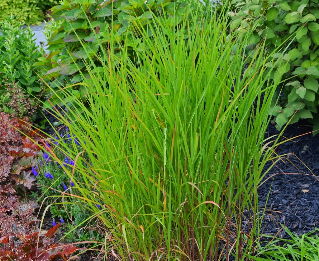 Checking out more of my ornamental grasses the obsessive for Names of ornamental grasses