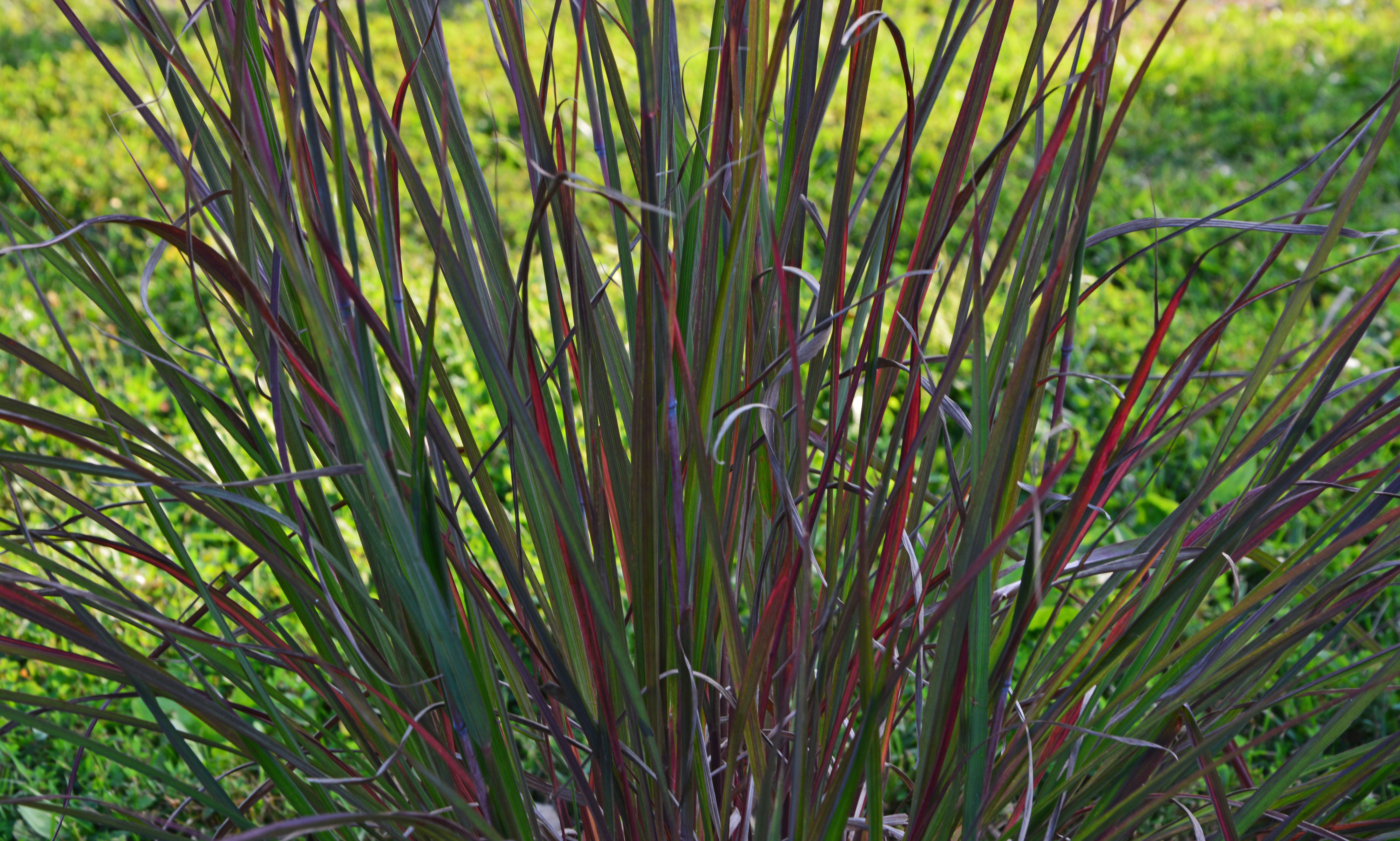 Ornamental grass update an obsessive neurotic gardener for Small red ornamental grass
